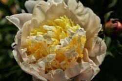 长白山牡丹花开富贵