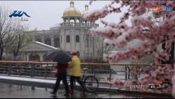 长白山小镇5月4日,花与雪相伴!!