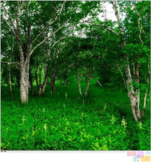 <a href=http://www.cbstianchi.com target=_blank class=infotextkey>长白山</a>岳桦林